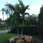 Alexander Palm – Archontophoenix alexandrae