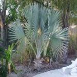 Bismarck Palm – Bismarckia nobilis
