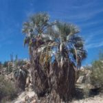 Blue Hesper Palm – Brahea armata