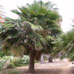 Guadalupe Palm – Brahea edulis