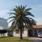 Canary Island Date Palm – Phoenix canariensis