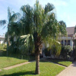 Chinese Fan Palm – Livistona chinensis