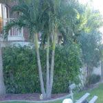 Christmas Palm – Veitchia merillii