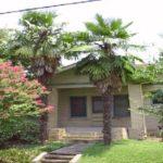 Chusan Palm – Trachycarpus fortunei
