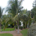 Coconut Palm – Cocos nucifera