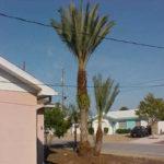 Edible Date Palm – Phoenix dactilifera