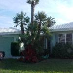 European Fan Palm – Chamaerops humilis