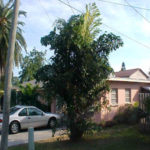 Fishtail Palm – Caryota mitis