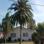 Indian Date Palm – Phoenix rupicola