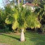 Majestic Palm – Ravenea rivularis
