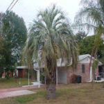 Pindo/Jelly Palm – Butia capitata