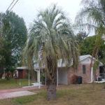 Pindo/Jelly Palm – Butia capitata