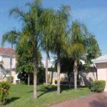 Queen Palm – Syagrus romanzoffiana