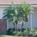 Pigmy Date Palm – Phoenix roebelenii
