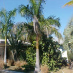 Royal Palm – Roystonea regia