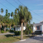 Sabal Palm – Sabal palmetto
