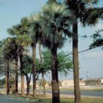 Mexican Palmetto – Sabal mexicana
