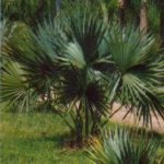Dwarf Palmetto – Sabal minor