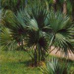 Dwarf Palmetto – Sabal minor