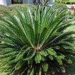 Sago Palm – Cycas revoluta