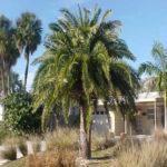 Sylvester Palm – Phoenix sylvestris