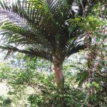 Tiger Palm – Burretiokentia vieillardii