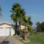Washington Palm – Washingtonia robusta