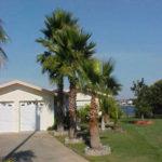 Washington Palm – Washingtonia robusta